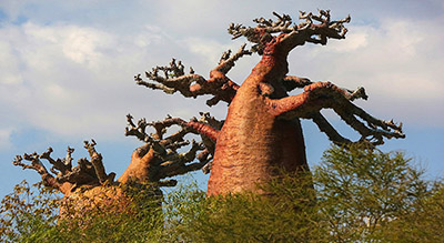 Baobabs between Land and Sea